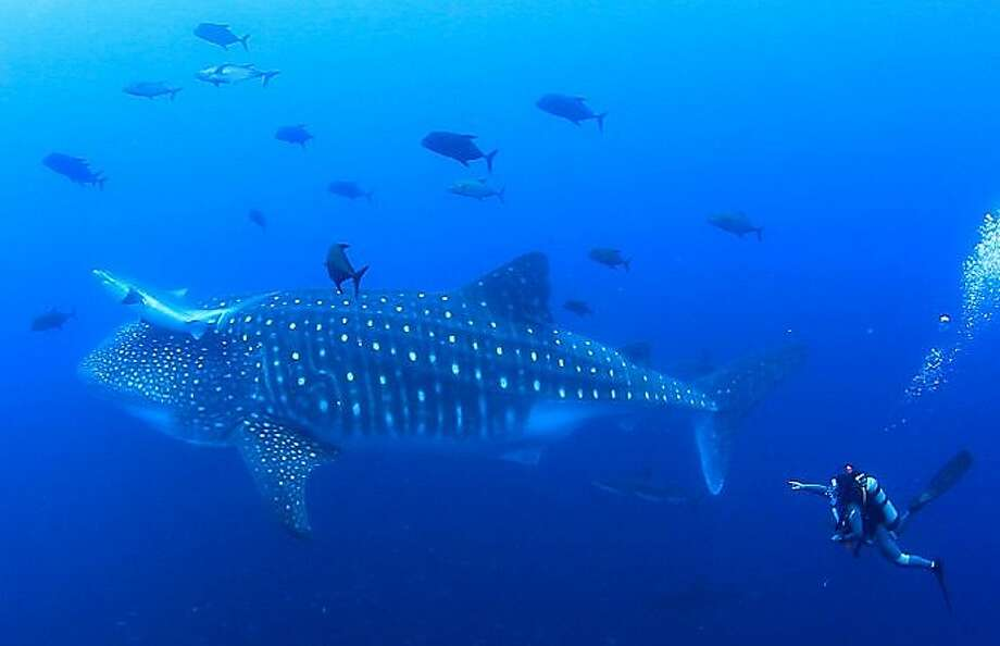 Jim Vandegrift of Santa Cruz with 45 ft whale shark and multiple Galapagos sharks. Photo: Courtesy Of Jim Vandegrift