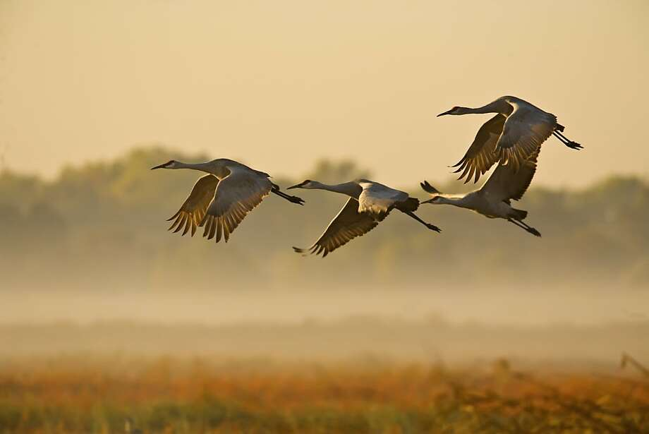 The flyover spectacle sandhill cranes, up to 1,000 in succession, can now be seen at Woodbridge Ecological Preserve, Consumnes Ecologial Reserve and Staten Island just in time for the annual Sandhill Crane Festival this weekend in Lodi.   Photo by Brigitte Clough. Permission for us to use. Photo: Brigitte Clough, Courtesy