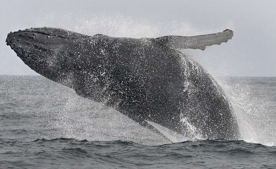 A grey humpback whale breaches near Farallones Island off the coast of San Francisco , Cailf., while marine biologists takes sampling of krill and plankton on what the whales eat on September 18, 2009.   Ran on: 09-22-2009 A humpback whale breaches near the Farallon Islands off the coast of San Francisco. Ran on: 09-22-2009 A humpback whale breaches near the Farallon Islands off the coast of San Francisco. Photo: Frederic Larson, The Chronicle