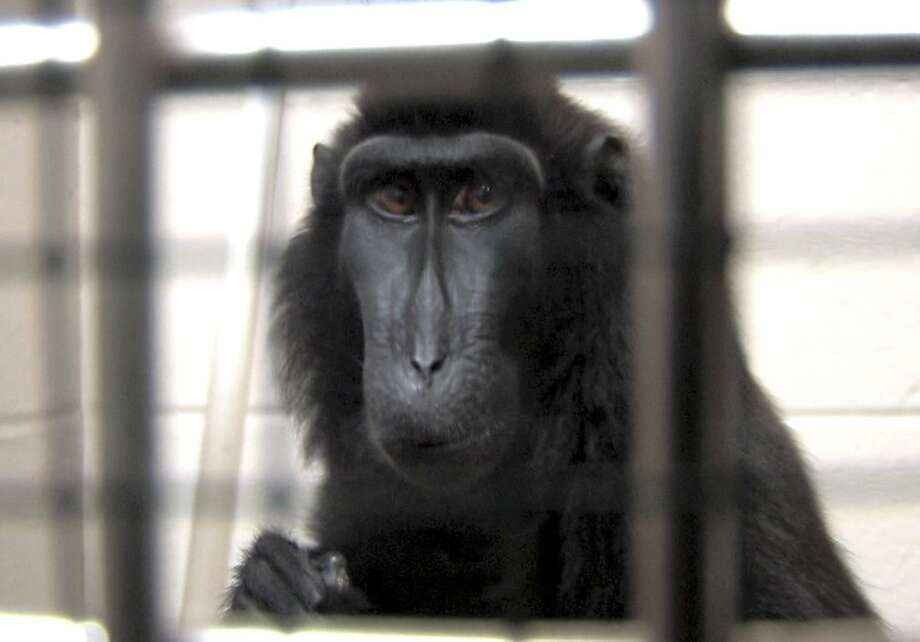 This is a handout photo from the Columbus Zoo and Aquarium of one of two macaques that were captured by authorities Wednesday, Oct. 19, 2011, a day after their owned released dozens of wild animals and then killed himself near Zanesville, Ohio.  Sheriff's deputies shot and killed 48 of the animals, including 18 rare Bengal tigers, 17 lions, six black bears, two grizzly bears, a baboon, a wolf and three mountain lions. Six of the released animals - three leopards, a grizzly bear and two monkeys - were captured and taken to the Columbus Zoo.  (AP Photo/Columbus Zoo and Aquarium, Grahm  S. Jones)   Ran on: 10-29-2011 A macaque captured by authorities Oct. 19 after its owner released dozens of wild animals near Zanesville, Ohio. Ran on: 10-29-2011 A macaque captured by authorities Oct. 19 after its owner released dozens of wild animals near Zanesville, Ohio. Photo: Grahm S. Jones, AP