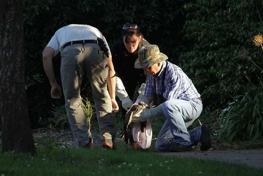 A wildlife rescue group captures a red-tailed hawk in a San Francisco park that appears to have been shot in the head with a nail gun. Rebecca Dmytryk, executive director of the Monterey-based group WildRescue, says the juvenile bird was trapped Saturday Oct. 22, 2011 shortly before sunset at the San Francisco Botanical Gardens. The bird was immediately transported to Wildlife Center of Silicon Valley in San Jose. (AP Photo/Katerine Ulrich - WildRescue) Photo: Katherine Ulrich, AP