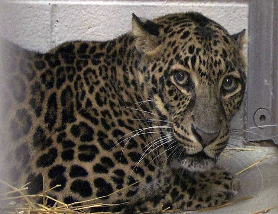 This photo provided by the Columbus Zoo and Aquarium shows one of three leopards that were captured by authorities Wednesday, a day after their owner released dozens of wild animals and then killed himself near Zanesville, Ohio.  Sheriff's deputies shot and killed 48 of the animals, including 18 rare Bengal tigers, 17 lions, six black bears, two grizzly bears, a baboon, a wolf and three mountain lions. Six of the released animals - three leopards, a bear and two monkeys - were captured and taken to the Columbus Zoo. (AP Photo/Columbus Zoo and Aquarium, Grahm S. Jones) Photo: Grahm Jones, AP