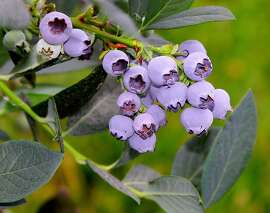 'Misty' blueberry    Ran on: 05-08-2011 'Misty' is a sweet, spicy blueberry that grows 4 to 6 feet. Several blueberry varieties can flourish in the Bay Area. Ran on: 05-15-2011 'Misty' is a sweet, spicy blueberry that grows 4 to 6 feet. Several blueberry varieties can flourish in the Bay Area.