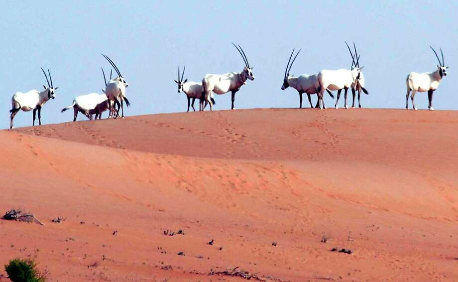 FILE - In this undated file photo made available by the Abu Dhabi Environment Agency in 2007, Arabian Oryx gather on top of a dune after their recent release into the desert. The antelope made famous in Arabian poetry and by its associations with the unicorn legend had been hunted to near-extinction by 1972. But over the past three decades, it has staged a remarkable comeback through a program that got its start in the Arizona desert and has flourished under the united efforts of several Arabian Gulf countries. (AP Photo/Abu Dhabi Environment Agency, File)  Ran on: 10-23-2011 The Arabian oryx has been reintroduced to a remote area of sand dunes in Abu Dhabi. Photo: Abu Dhabi Environment Agency, AP