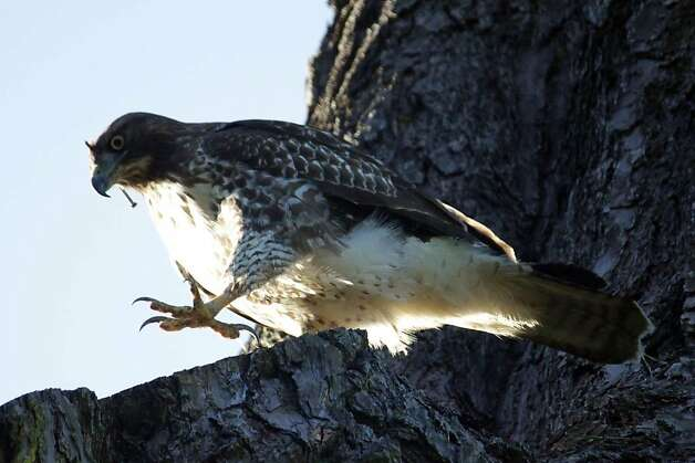WildRescue animal ambulance is trying to capture a red-tailed hawk loose in Golden Gate Park today, Tuesday October 18. The animal ambulance crew will spend the day monitoring two traps they set in the park. Photo: Courtesy WildRescue