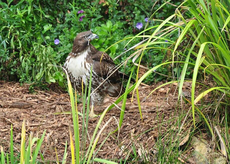 WildRescue animal ambulance is trying to capture a red-tailed hawk loose in Golden Gate Park today, Tuesday October 18. The animal ambulance crew will spend the day monitoring two traps they set in the park.   Ran on: 10-19-2011 WildRescue animal ambulance is trying to capture this red-tailed hawk loose in Golden Gate Park. Photo: Courtesy Catherine E Clarke