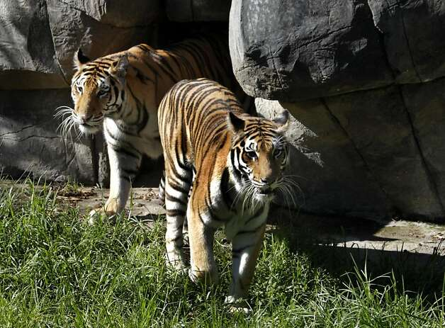 Two of the Oakland Zoo's four new tigers rescued from Texas get to know their new home in Oakland, Calif. on Tuesday, Oct. 18, 2011. Molly, Milou, Grace and Ginger join the zoo's resident tiger, Torako, and will make their public debut on Thursday. Photo: Paul Chinn, The Chronicle