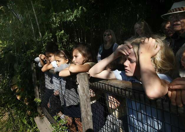 Second grade students from Moraga's Saklan School watch the Oakland Zoo's four new tigers in Oakland, Calif. on Tuesday, Oct. 18, 2011. Molly, Milou, Grace and Ginger join the zoo's resident tiger Torako and will make their public debut on Thursday. Photo: Paul Chinn, The Chronicle