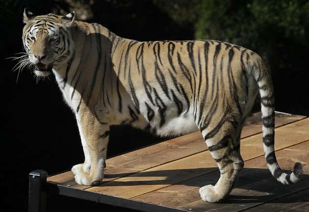 One of the four tigers rescued from an overpopulated Texas zoo gets to know her new home at the Oakland Zoo in Oakland, Calif. on Tuesday, Oct. 18, 2011. Molly, Milou, Grace and Ginger join the zoo's resident tiger Torako and will make their public debut on Thursday. Photo: Paul Chinn, The Chronicle