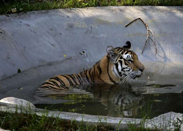 One of the Oakland Zoo's four new tigers rescued from Texas bathes in a pool at her new home in Oakland, Calif. on Tuesday, Oct. 18, 2011. Tigers Molly, Milou, Grace and Ginger join the zoo's resident tiger, Torako, and will make their public debut on Thursday. Photo: Paul Chinn, The Chronicle