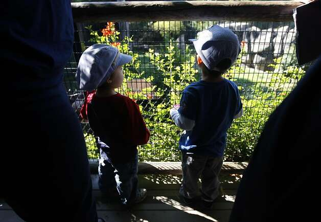 Two-year-olds Louie (left) and Henry, are among the first to see the four tigers, rescued from an overpopulated Texas zoo, at the Oakland Zoo in Oakland, Calif. on Tuesday, Oct. 18, 2011. Molly, Milou, Grace and Ginger join the zoo's resident tiger Torako and will make their public debut on Thursday. Photo: Paul Chinn, The Chronicle