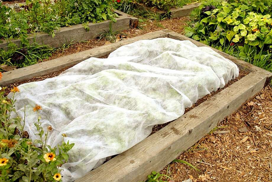Chard under this rowcover is being protected from a pest that ruins the leaves. The cover will be removed in mid-October, when the pest becomes inactive, and unblemished chard will be harvested all winter. Photo: Pam Peirce