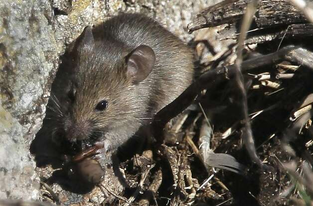 A house mouse, part of the over population of mice on the island, eats a spider on south east Farallon Island off the coast of San Francisco, Ca., on Wednesday October 12, 2011. When the mouse population dwindles on the island, Burrowing owls turn to the Ashey Storm-Petrel for it's food supply. Efforts to control the non-native house mice problem in the Farallon Islands have failed. Officials say the mouse population has grown so large that they have altered the ecology of the island. Photo: Michael Macor, The Chronicle