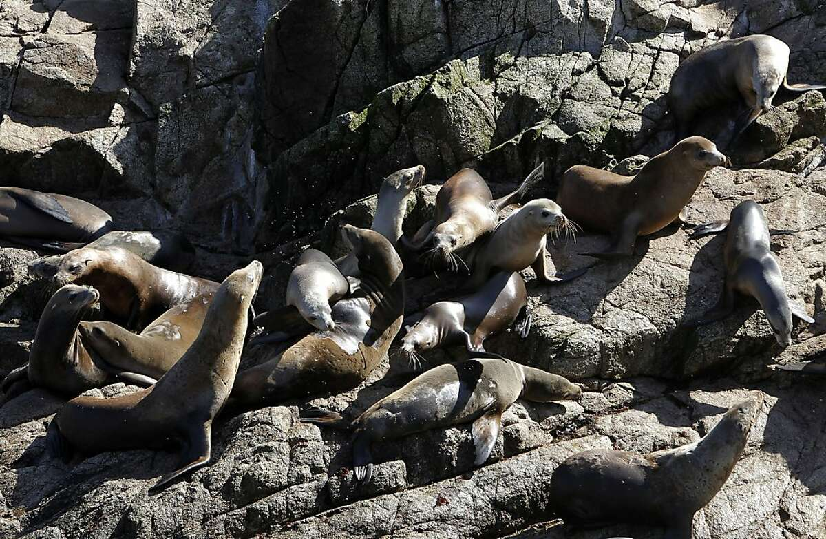 California sea lions, one of the many species of wildlife on the south east Farallon Island, on Wednesday October 12, 2011, off the coast of San Francisco, Ca. Efforts to control the non-native house mice problem in the Farallon Islands have failed. Officials say the mouse population has grown so large that they have altered the ecology of the island.