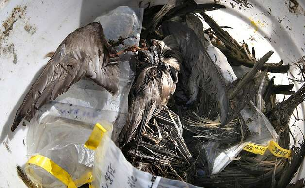 The wings of Ashy Storm-Petrels fill a bucket, on Wednesday October 12, 2011, the birds were eaten by the Burrowing Owl population on south east Farallon Island off the coast of San Francisco, Ca.  When the mouse population dwindles on the island, Burrowing owls turn to the Ashey Storm-Petrel for it's food supply.Efforts to control the non-native house mice problem in the Farallon Islands have failed. Officials say the mouse population has grown so large that they have altered the ecology of the island. Photo: Michael Macor, The Chronicle