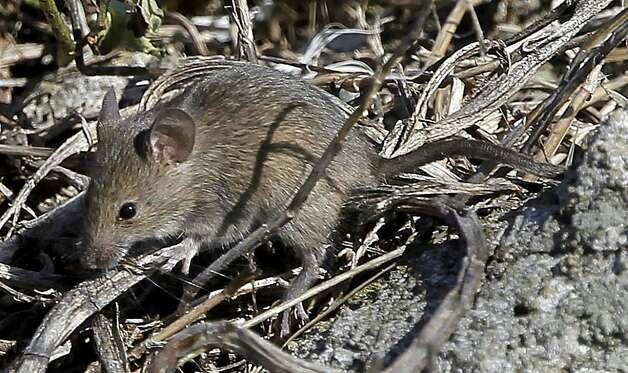 A house mouse, part of the over population of mice on the island, roams south east Farallon Island off the coast of San Francisco, Ca., on Wednesday October 12, 2011. When the mouse population dwindles on the island, Burrowing owls turn to the Ashey Storm-Petrel for it's food supply. Efforts to control the non-native house mice problem in the Farallon Islands have failed. Officials say the mouse population has grown so large that they have altered the ecology of the island. Photo: Michael Macor, The Chronicle