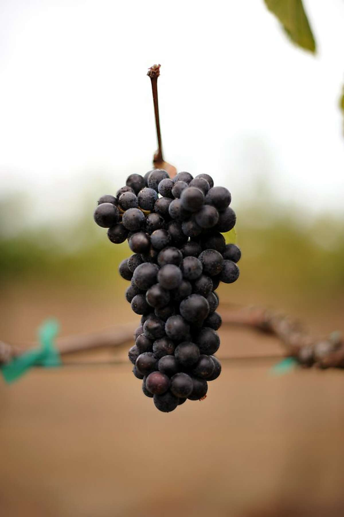 The Kiser vineyard in Philo, California in the Anderson Valley is planted with Pommard and a variety of Dijon clones of pinot noir grapes. September 30, 2011