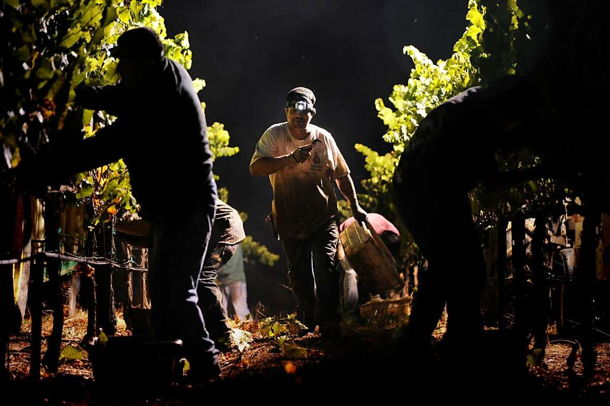 Harvest pickers before sunrise working Burt Williams?• 12-acre Morning Dew vineyard in Philo, California in Anderson Valley during the last day of picking. October 2, 2011