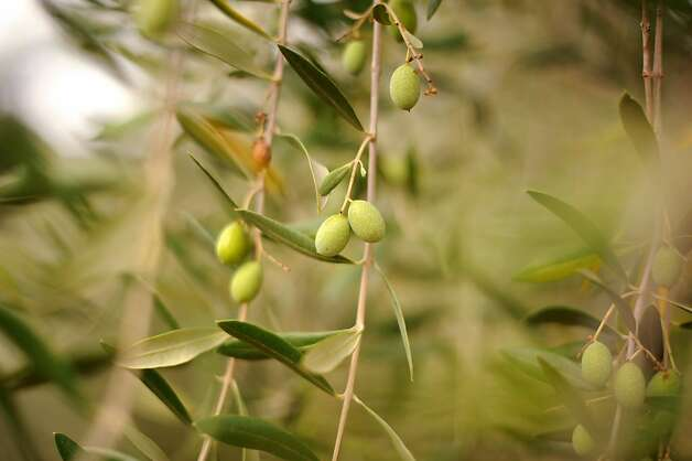 Burt Williams also has a small orchard of a variety of Tuscan olives at his 12-acre Morning Dew vineyard in Philo, California in Anderson Valley. October 2, 2011 Photo: Erik Castro, Special To The Chronicle