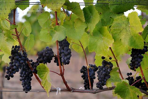 Clusters of pinot noir grapes from the 1.5 acre Abbey-Harris vineyard in Boonville, California in the Anderson Valley. September 29, 2011 Photo: Erik Castro, Special To The Chronicle