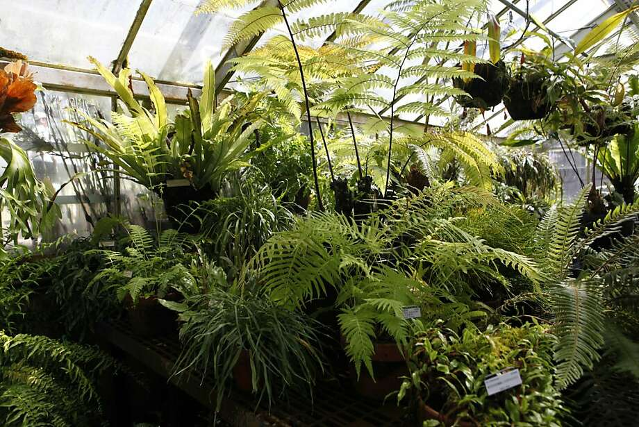 A vibrant collection of ferms grow in the Fern house at the UC Berkeley Botanical Gardens on Wednesday June 30, 2010 in Berkeley, Calif.  Ran on: 07-11-2010 The Botanical Garden's fern collection is one of the largest, says Associate Director Chris Charmichael. Photo: Mike Kepka, The Chronicle