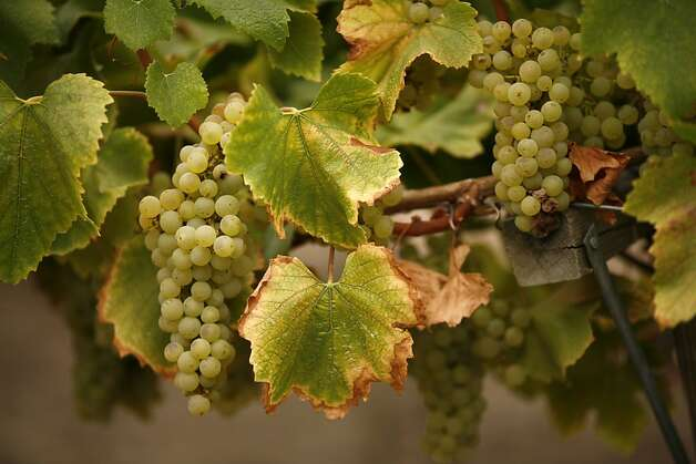 Chardonnay grapes about to be harvested at Spring Ridge Vineyards in Portola Valley, Calif., on September 10, 2008. Ran on: 09-21-2008   Ran on: 01-30-2011 Chardonnay, California's most-planted grape, is available in an ever more diverse range of styles. Photo: Craig Lee, The Chronicle