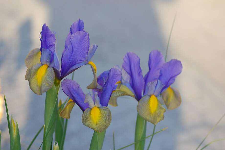 Dutch iris Photo: Erle Nickel
