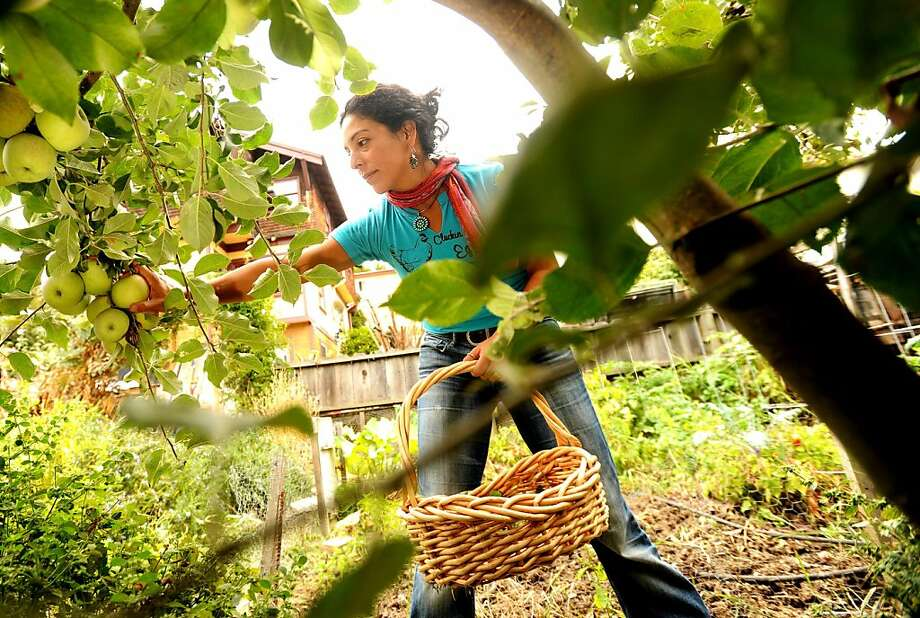 Esperanza Pallana, owner of Pluck & Feather Farm and co-founder of the East Bay Urban Agriculture Alliance, picks apples in the backyard of her Oakland, Calif., home on Monday, Oct. 3, 2011. Photo: Noah Berger, Special To The Chronicle