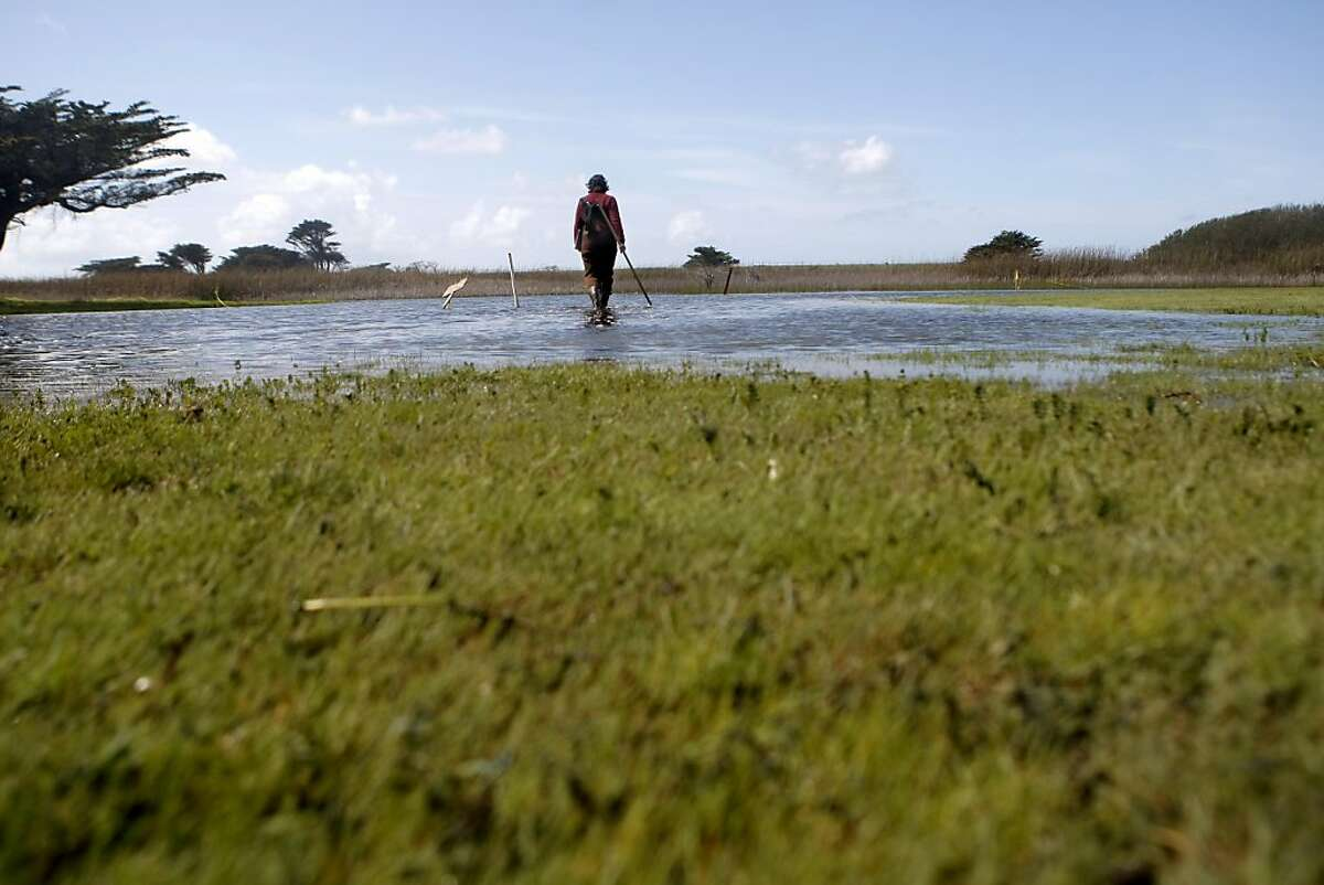 Lisa Wayne, Natural Areas Program Director at S. F. Recreation and Park, surveys newly flooded areas of Sharp Park Golf Course searching for California Red-legged frogs and eggs in Pacifica, Calif., on Monday, March 21, 2011. Ran on: 03-24-2011 Lisa Wayne of S.F. Recreation and Park Department surveys newly flooded areas of Sharp Park Golf Course on Monday. Ran on: 03-24-2011 Lisa Wayne of S.F. Recreation and Park Department surveys newly flooded areas of Sharp Park Golf Course on Monday.
