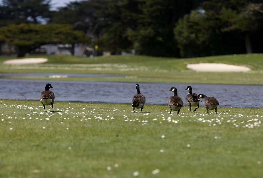 A gaggle of Canada geese forage inside of Sharp Park Golf Course in Pacifica, Calif., on Monday, March 21, 2011. Photo: Thomas Levinson, The Chronicle