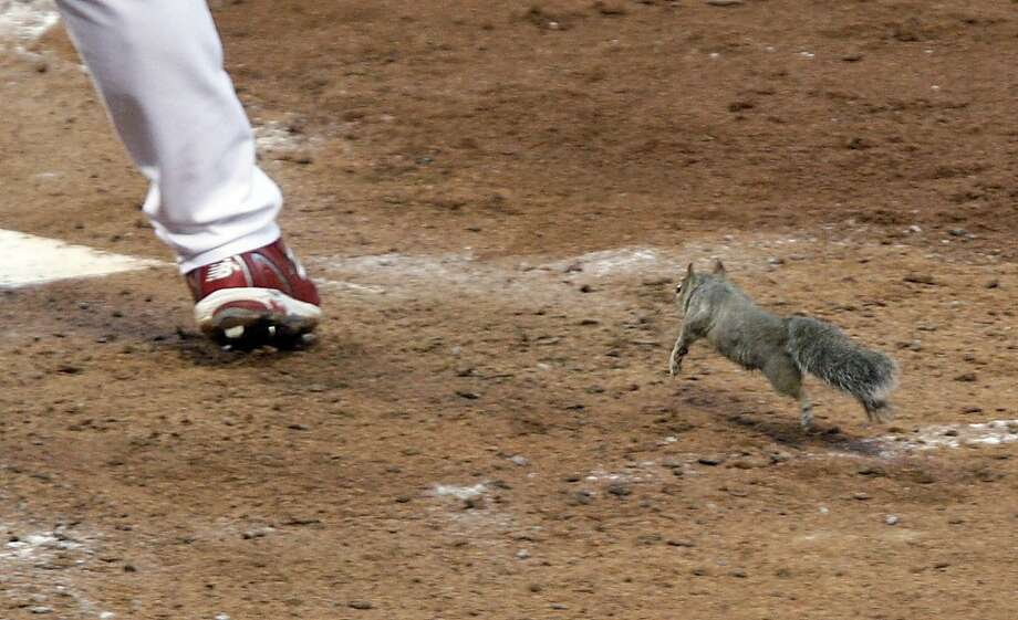 A squirrel runs past the leg of St. Louis Cardinals' Skip Schumaker while Schumaker bats during the fifth inning of Game 4 of baseball's National League division series against the Philadelphia Phillies, Wednesday, Oct. 5, 2011, in St. Louis. (AP Photo/Tom Gannam) Photo: Tom Gannam, AP