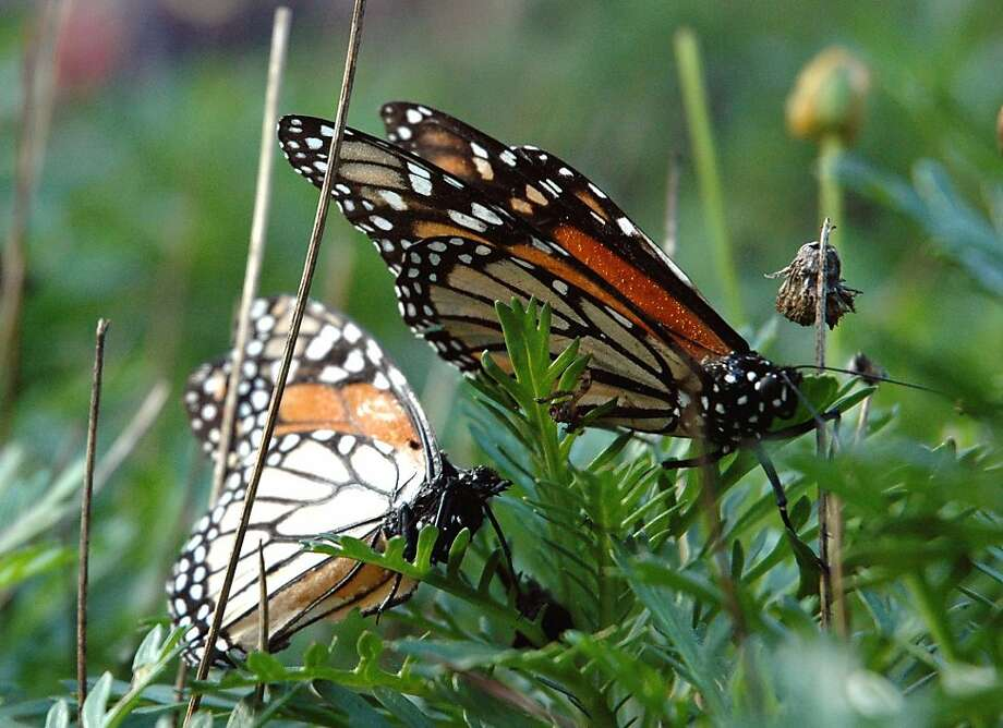 Welcome Back Monarchs Day, October 9, at Natural Bridges State Beach in Santa Cruz heralds the orange-and-black insects' return to their winter home. Pacific Grove, Calif. -- Monarch Grove Sanctuary, Ridge Road, between Lighthouse Ave. and Short St. Christine Delsol / Special to The Chronicle  ONE-TIME USE Contact photographer for reuse. Photo: Christine Delsol