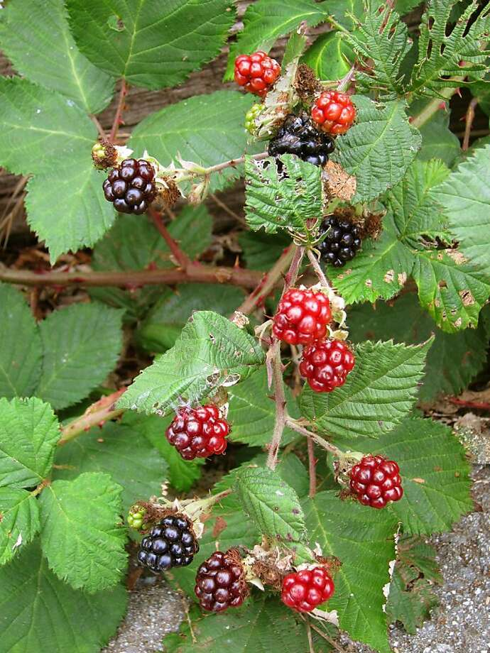 Not only garden fruit, but also wild 'Himalaya' blackberries, on which many in the Bay Area depend for supplemental fruit, are being spoiled by a newly invading fruit fly, the spotted wing drosophila. Photo: Pam Peirce