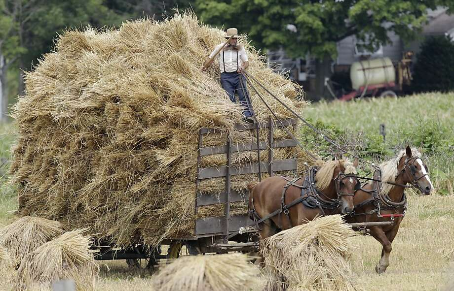 FILE - In this July 15, 2011 file photo, an Amish man rides on top of a hay wagon near Middlefield, Ohio. Jefferson County, Ohio Sheriff Fred Abdalla says men and sometimes women from a group of families disavowed by mainstream Amish have terrorized a half-dozen or more fellow Amish, cutting off their hair and beards. Abdalla said Thursday, Oct. 6, 2011 that his deputies have been hampered by the reluctance of Amish to press charges.  (AP Photo/Tony Dejak, File) Photo: Tony Dejak, AP