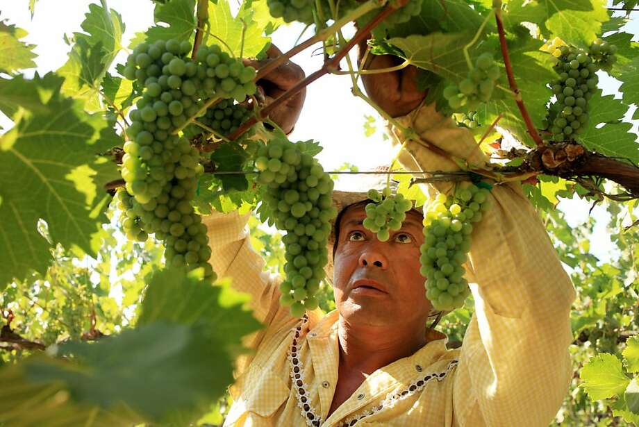Efrain Palencia, a longtime employee, drops clusters of viognier grapes at Crawford Vineyard to lessen to load to help with the ripening process. Crawford Vineyard, located about four miles outside of Prosser, Washington, supplies cabernet sauvignon, pinot grigio, lemberger and merlot grapes to Thurston Wolfe Winery in Vintner's Village. (Erika Schultz/Seattle Times/MCT) Photo: Erika Schultz, MCT