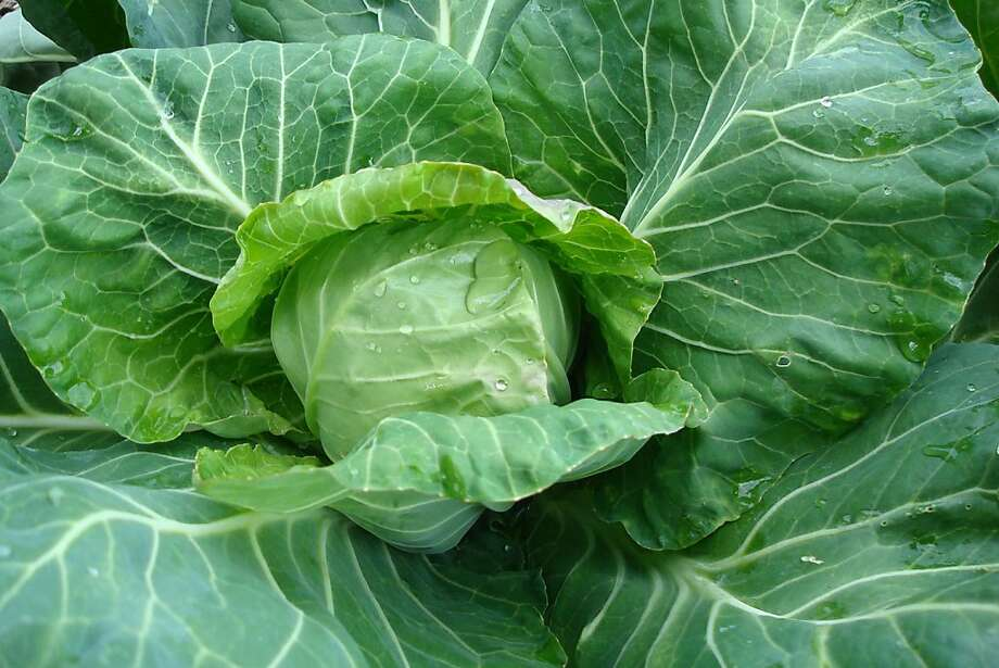 'Pixie' cabbage   Ran on: 02-02-2011 'Pixie' cabbage, developed to take frost and heat, packs a delicate and sweet flavor in 5-inch heads. Ran on: 02-02-2011 'Pixie' cabbage, developed to take frost and heat, packs a delicate and sweet flavor in 5-inch heads.  Ran on: 06-05-2011 Half-day sun will support many root or leafy crops, including cabbage, above, potatoes and carrots. Ran on: 06-05-2011 Half-day sun will support many root or leafy crops, including cabbage, above, potatoes and carrots. Photo: Courtesy Renee's Garden