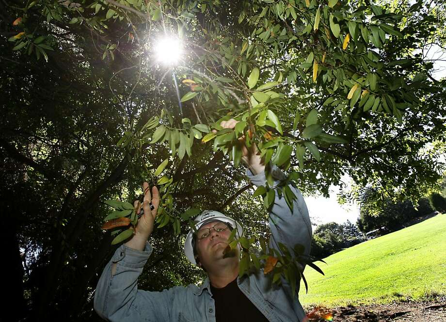 Research Associate Doug Schmidt looks over a bay tree for evidence of the disease in Cordornices Park in Berkeley, Calif. Sudden Oak Death Syndrome seems to be on the rise again because of our wet winter and spring say researchers at UC Berkeley. Scientists now say the disease is spread by bay trees in the proximity of oak trees. Photo: Brant Ward, The Chronicle