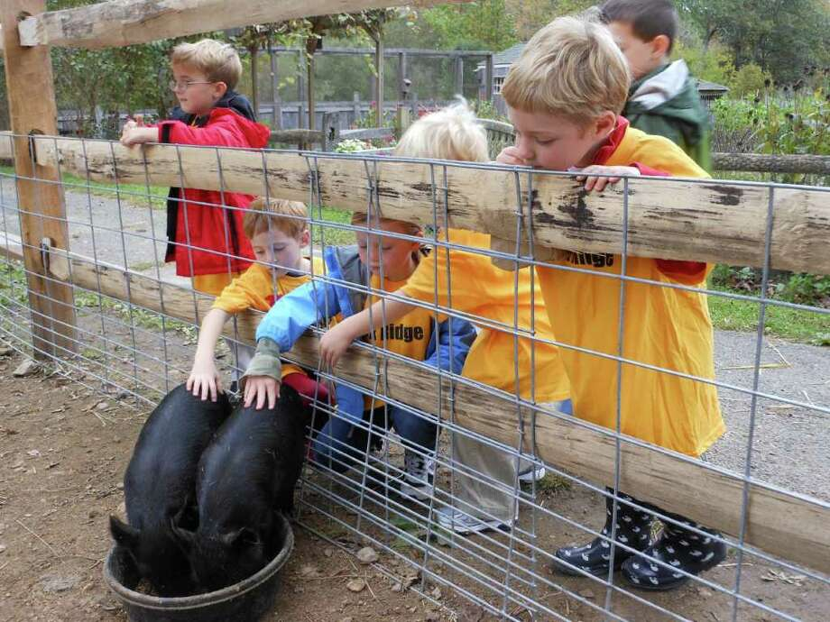 Pictured petting the baby pigs are Ox Ridge kindergartners J.R. Struk, Mitch Davis, Sadie Stafford, Rigs Conze and John Caliendo. Photo: Contributed Photo
