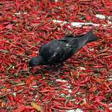A pigeon pecks on patches of dried chilies on a street in Bangkok, Thailand, Wednesday, Aug. 31, 2011. (AP Photo/Sakchai Lalit)