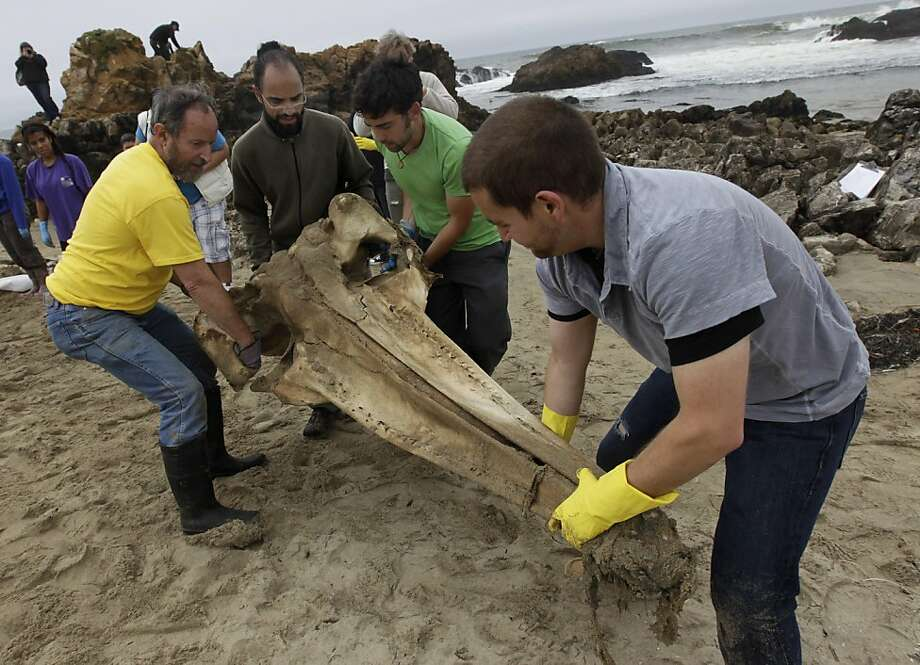 Volunteers help Dan Sudran (left) recover the skull from a 30-foot gray whale in Pescadero, Calif. on Saturday, August  27, 2011, which washed ashore at Pescadero State Beach in June. Photo: Paul Chinn, The Chronicle