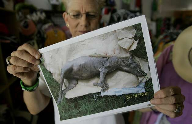 Phylis Canion holds a photo of what she is calling a Chupacabra  in Cuero, Texas, Friday, Aug. 31, 2007. She found the strange looking animal dead outside her ranch and thinks it is responsible for killing many of her chickens.  (AP Photo/Eric Gay) Photo: Eric Gay