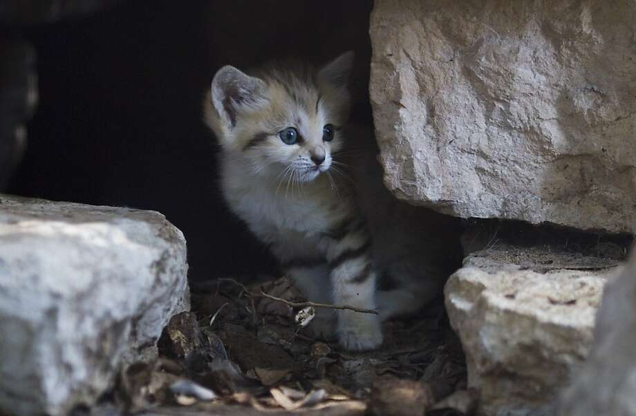 Renana, a 3-week-old sand cat, peers form hiding cave in the Ramat Gan Safari near Tel Aviv ,Israel,Tuesday, August 9, 2011. Safari spokeswoman , Sagit Horowitz said its the first successful birth of a sand cat in Israel. (AP Photo/Ariel Schalit) Photo: Ariel Schalit, AP