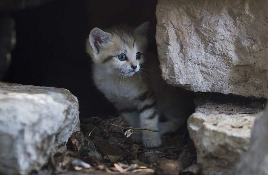Renana, a 3-week-old sand cat, peers form hiding cave in the Ramat Gan Safari near Tel Aviv ,Israel,