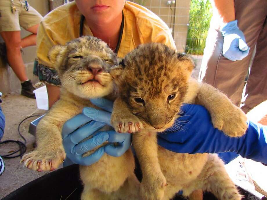 "This photo provided by the Reid Park Zoo in Tucson, Ariz. shows newborn male and female lion cubs after their first medical exam Tuesday, Aug. 2, 2011. The cubs, born to ""Kaya"" on July 28, appear to be doing well. Photo: Reid Park Zoo, AP"