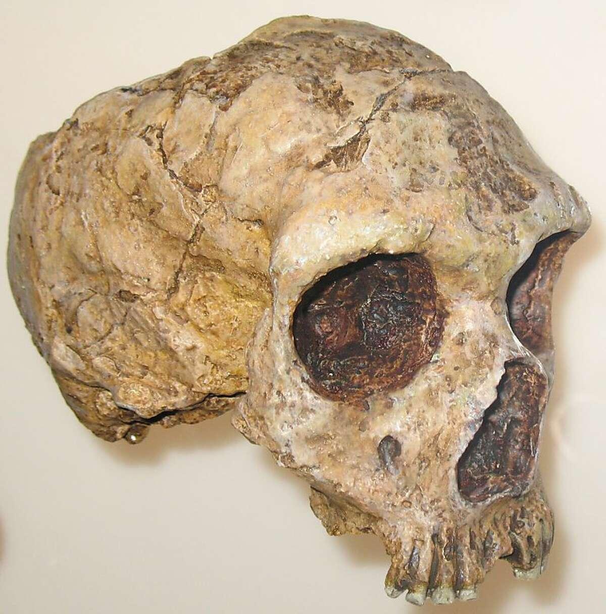 Skull of a Homo neanderthalensis (30.000 - 50.000 years old)