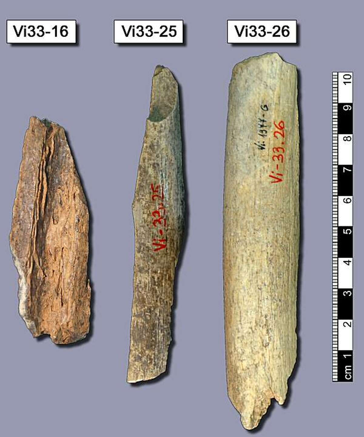 This picture shows three bones (Vi33-16, Vi33-25, Vi33-26) from Vindjia cave, Croatia. Most of the Neanderthal sequence was retrieved from these bones.