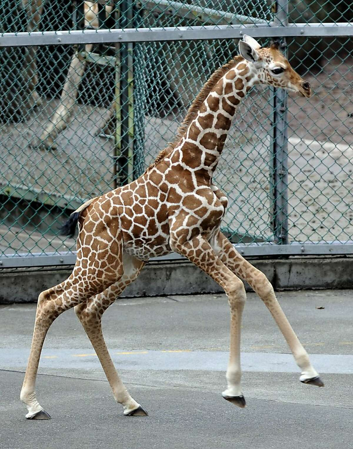 This picture taken on August 21, 2011 shows a baby giraffe running in her enclosure at Tama Zoological Park in Tokyo . The baby giraffe was born on August 6 at the zoo. AFP PHOTO / KAZUHIRO NOGI (Photo credit should read KAZUHIRO NOGI/AFP/Getty Images)