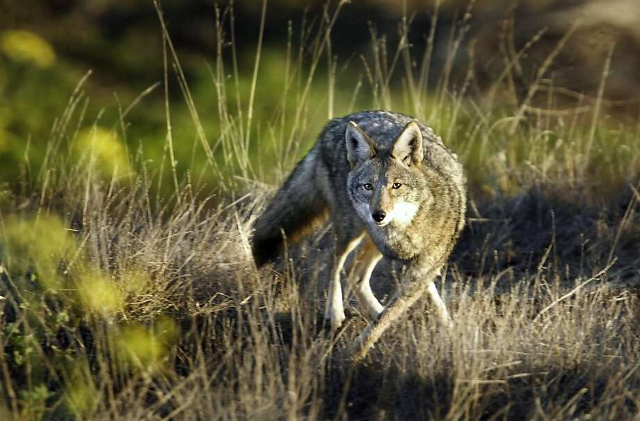 In this file photo, a coyote keeps a wary eye on a visitor to Bernal Hill in the Bernal Heights neighborhood of San Francisco. Photo: Scott Sommerdorf, The Chronicle