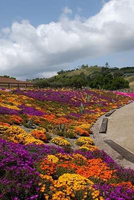 A variety of ice plant species in a tapestry planting.
