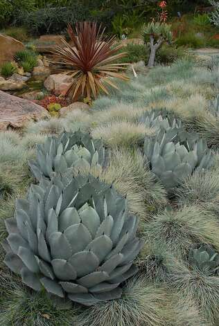 This garden pairs artichoke agave with blue fescue. Photo: Jennifer Cheung / Cachuma Press